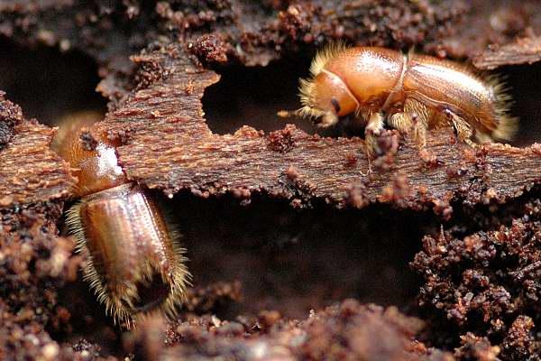 Более 20 тысяч гектар леса уничтожили в Беларуси из-за жука-короеда