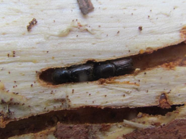 Жуки-точильщики. Способы борьбы с жуком. Как уничтожить жуков?