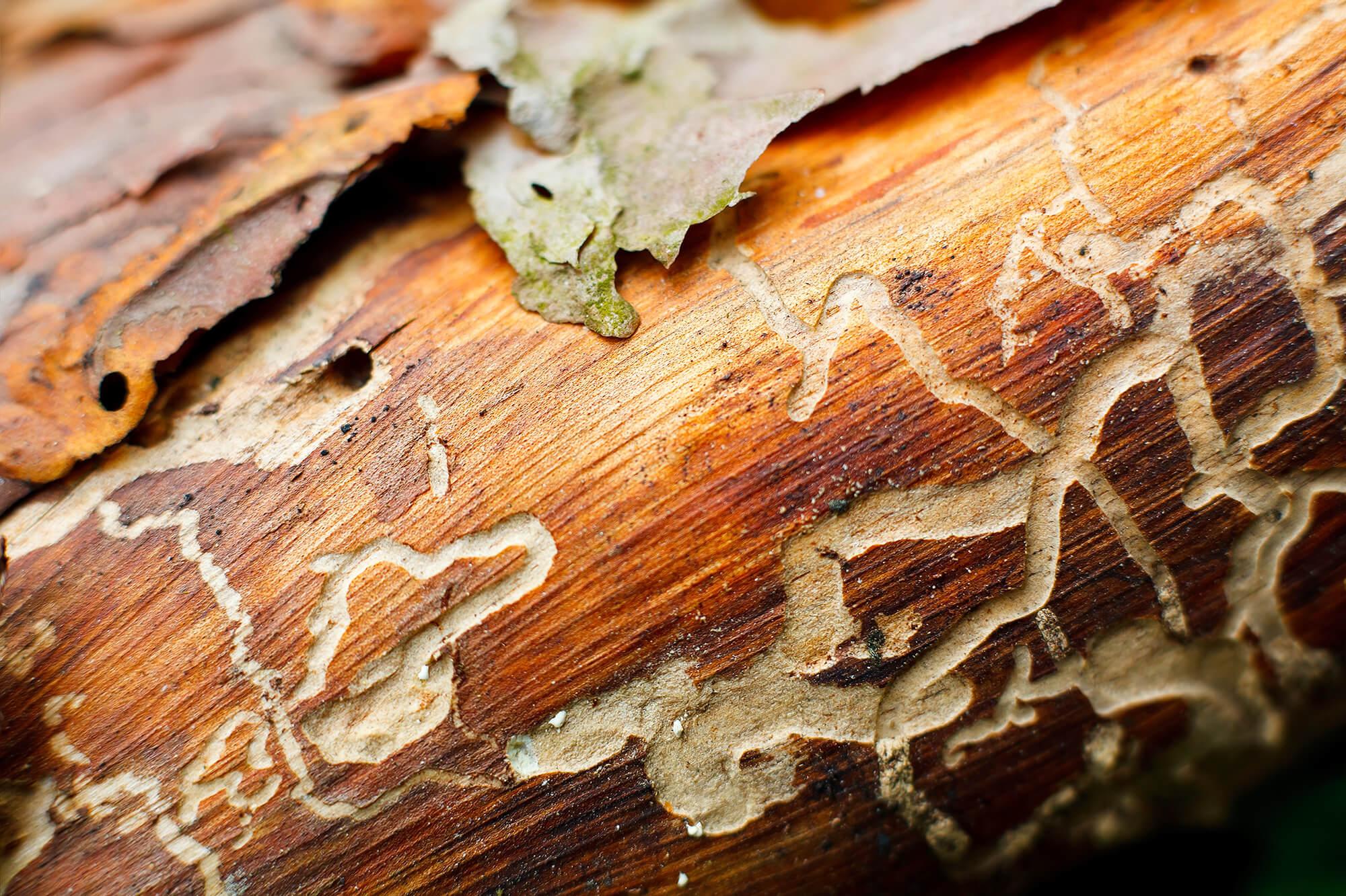 Насекомые вредители древесины. Их краткий обзор